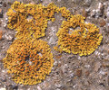 Yellow Scale Lichen Royalty Free Stock Images