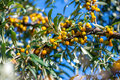 Yellow sea buckthorn grows in spring city park Stock Images