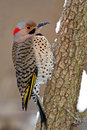 Yellow-Shafted Flicker (Colaptes auratus) Royalty Free Stock Images
