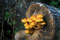 Yellow shelf mushrooms growwing on an old tree Stock Photo