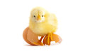 The yellow small chick with egg isolated on a white background Stock Photography