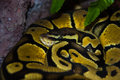 Yellow snake in captivity Stock Images