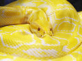 Yellow snake photo of the Stock Photography