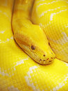 Yellow snake photo of the Royalty Free Stock Images
