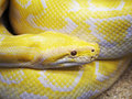 Yellow snake photo of the Stock Images