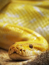 Yellow snake photo of the Stock Photos