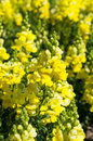 Yellow snapdragon or antirrhinum flower closeup flowers background Royalty Free Stock Images