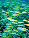 Yellow Snapper Royalty Free Stock Photo