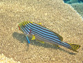 Yellow snappers in maldives Stock Images