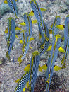 Yellow snappers in maldives Royalty Free Stock Photography