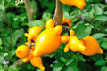 Yellow solanum mammosum fruit plant Stock Image