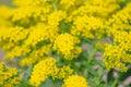 Yellow Solidago virgaurea flower Royalty Free Stock Photo