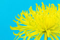 Yellow Spider Chrysanthemum Flower on Bright Blue Royalty Free Stock Photography