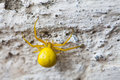 Yellow spider insect on stone wall background. Misumena vatia Goldenrod flower Crab Spider. Macro view, selective focus