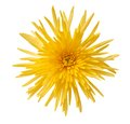 Yellow spider mum isolated white background Royalty Free Stock Photos
