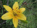 Yellow spotted lily Royalty Free Stock Photo