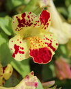 Yellow Spotted Mimulus Royalty Free Stock Photo