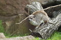 Yellow spotted rock hyrax the on the trunk Royalty Free Stock Image