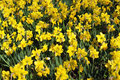 Yellow Spring Daffodils Stock Photography