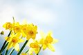 Yellow Spring Daffodils. Royalty Free Stock Photo