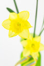 Yellow Spring Daffodils In Vase