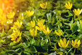 Yellow spring flowers in the garden with bee and sun rays beam soft focus on plant horizontal orientation Royalty Free Stock Image