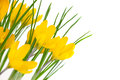 Yellow spring flowers isolated on white crocus background Royalty Free Stock Images