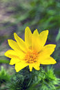 Yellow spring wild flower Royalty Free Stock Photo