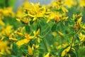 Yellow St. John& x27;s wort Royalty Free Stock Photo