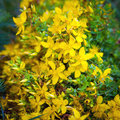 Yellow St Johns flowers Royalty Free Stock Photo