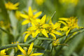 Yellow star of bethlehem Royalty Free Stock Image