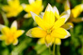 Yellow star of bethlehem gagea lutea Stock Image
