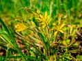 The Yellow Star-of-Bethlehem Gagea lutea - close up view of beautiful flowers in grass - Selective focus