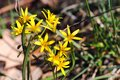 Yellow star of Bethlehem Gagea lutea early spring flower, a flowering plant in the family Liliaceae, a bulb-forming perennial