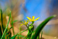 Yellow star of bethlehem gagea is spring flowers grows in damp deciduous woodland Royalty Free Stock Photos