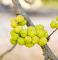 Yellow star gooseberry Royalty Free Stock Images
