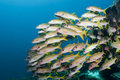 Yellow striped goatfish Stock Images