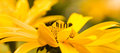 Yellow summerflowers summer pano false sunflower or heliopsis helianthoides Stock Images