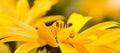 Yellow summerflowers summer pano Royalty Free Stock Photo
