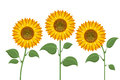 Yellow sun flowers on white background. Sunflowers for spring invitations and summer greeting cards Royalty Free Stock Photo