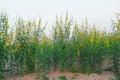 Yellow sun hemp flower field Royalty Free Stock Photo