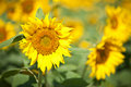 Yellow sunflower. Royalty Free Stock Image