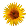 Yellow sunflower Royalty Free Stock Photos