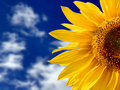 Yellow sunflower against blue sky Stock Images