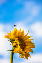 Yellow sunflower against the blue sky in Finland. Bumblebee flying over the flower. Royalty Free Stock Photo