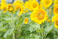 Yellow sunflower blooming in garden on sunny day Royalty Free Stock Photos