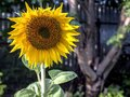 Yellow sunflower blooms and bumblebee collects nectar, macro Royalty Free Stock Photo