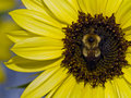 Yellow Sunflower with a bumblebee Royalty Free Stock Photo