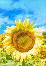 Yellow sunflower closeup blue sky and clouds Royalty Free Stock Photo