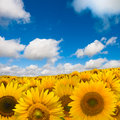 Yellow sunflower field Stock Photos